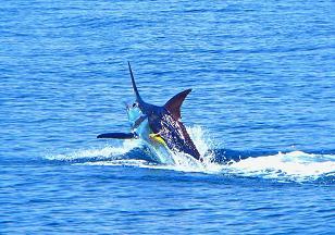 Costa Rica Blue Marlin